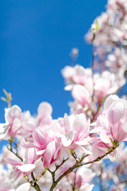 magnolia23