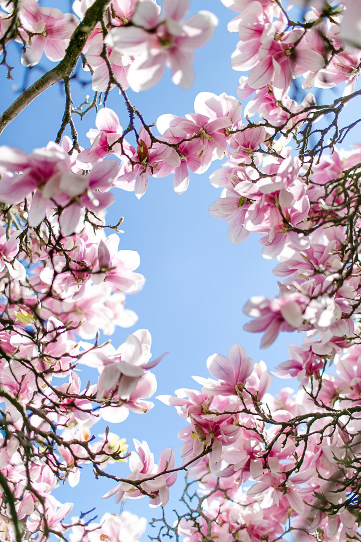 magnolia28