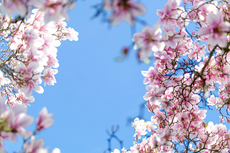 magnolia36