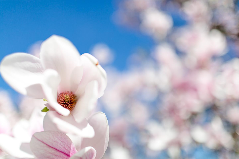 magnolia41
