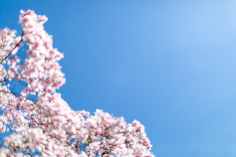 magnolia44
