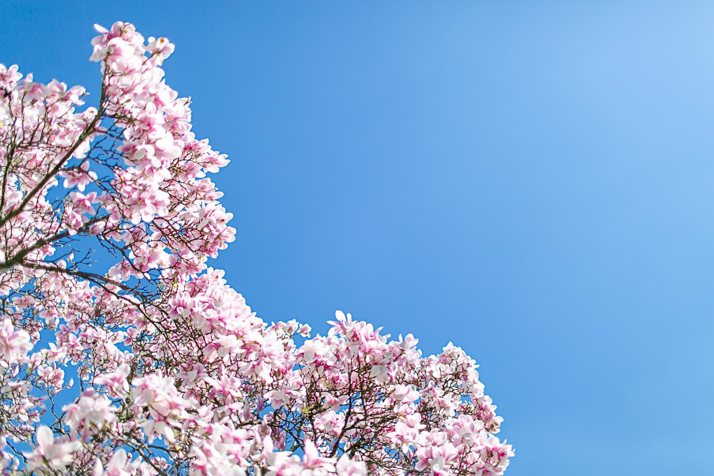 magnolia50